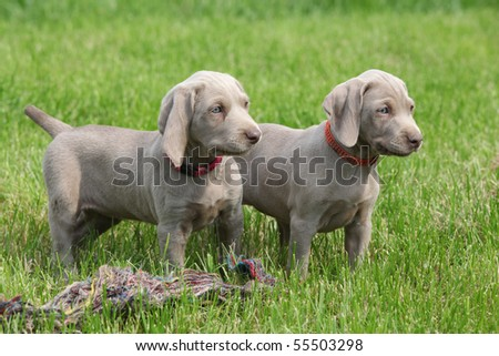 Weimaraner Puppies on Two Puppies Weimaraner Stock Photo 55503298   Shutterstock