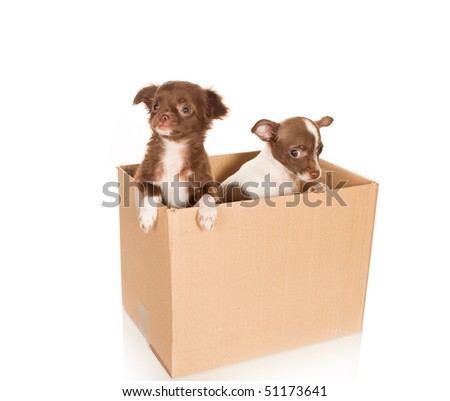 Two puppy chihuahua dogs in a brown box to be moved