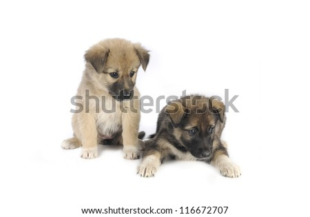 two puppy of 1,5 months old on a white background
