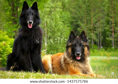 Two purebred Belgian shepherds posing in the woods. a red fawn tervueren and a pure black groenendael  #1437575786