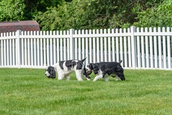 Two purebred English Springer Spaniels sniffing and exploring the yard with a white picket fence behind them.