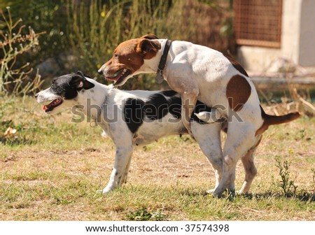 two purebred jack russel terrier making love in a garden - stock photo