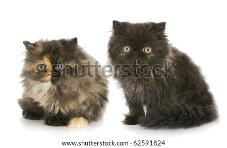 two purebred persian kittens with reflection on white background