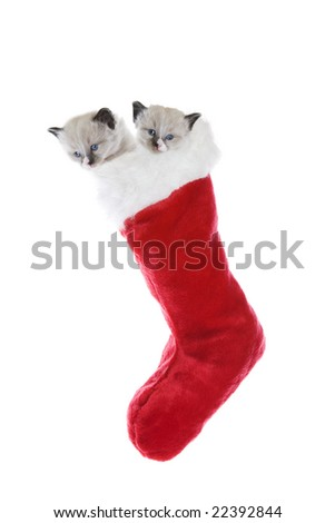 Two purebred, Snowshoe Lynx-point Siamese kittens in a Christmas stocking.
