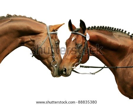 two purebred stallions isolated on white