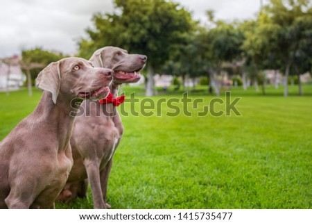 Two purebred weimaraner dogs, very elegant, sitting on the grass of nature. #1415735477