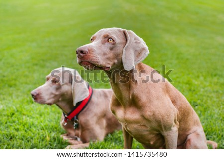 Two purebred weimaraner dogs, very elegant, sitting on the grass of nature. #1415735480