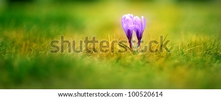 two purple crocus flowers in the grass