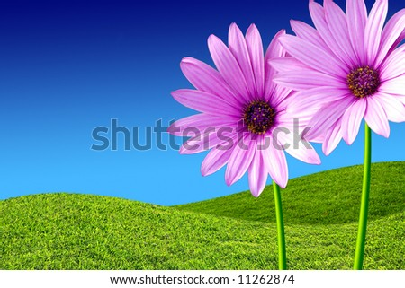 Two purple daisies in a green grass field and blue sky