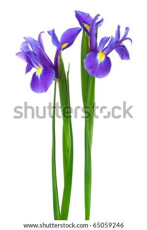 two purple iris on a white background