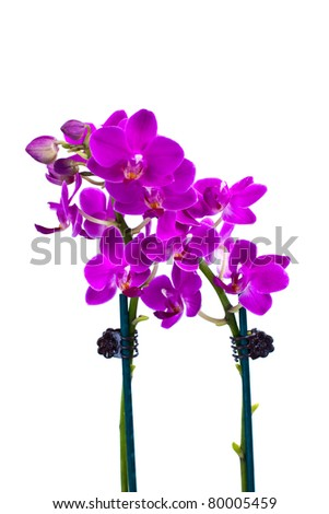 two purple orchids isolated on white background