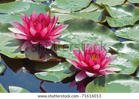 Two purple water lilies and green leaves on a lake - stock photo