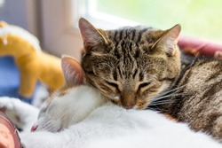 Two pussycats sleep sweetly with each other