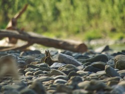 Two rabbits foraging in dried riverbed during early morning light