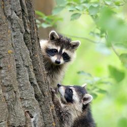 Two Raccoons Peeking Around a Tree