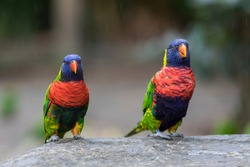 Two rainbow lorikeets in the Jardin de Balata, Martinique