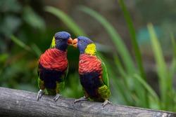 Two rainbow lorikeets kiss in the Jardin de Balata, Martinique
