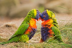 Two rainbow lorikeets (Trichoglossus haematodus Moluccanus) fighting