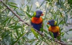 Two rainbow parrots sitting in a tree