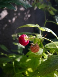 Two raspberries - red ripe raspberry and riping yellow raspberry - on the branch with green leaves in the sunlight in the background of the garden wall with the dancing shadows. Fresh green background