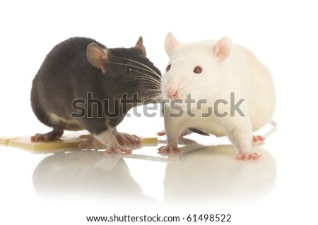 two rat isolated