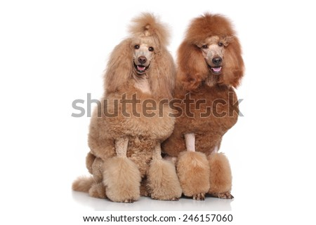 Two red and apricot Standard Poodles on white background #246157060
