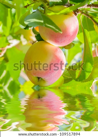 Two red and yellow apples on a branch reflection on water, outdoors
