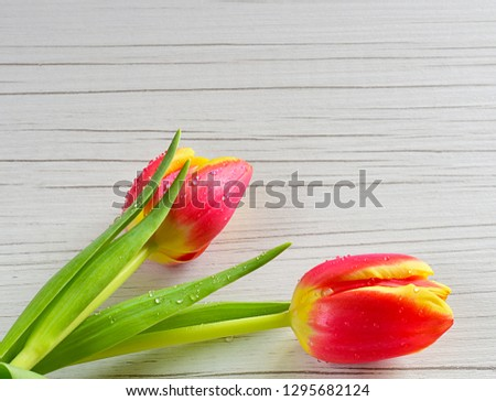 Two red and yellow tulips with water drops on white wooden table. With copy space for text. For Valentine's or Mother's day, holiday,...
