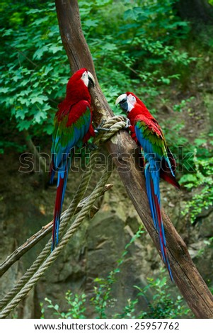 Two red ara macaws seats on branch with ropes. - stock photo
