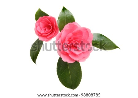 Two red camellia flowers and foliage isolated against white - stock photo