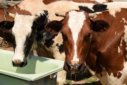 two red cows drink water from a bath on the street. Village and country life