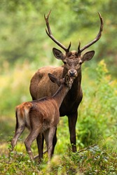 Two red deer, cervus elaphus, smelling in forest in summertime nature. Antlered stag and hind kissing in woodland. Wild mammals couple standing in green environment.