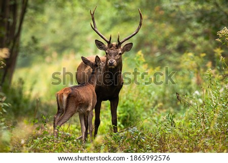 Two red deer, cervus elaphus, standing close together and touching with noses in woodland in summer nature. Wild animals couple looking to each other in forest. Stag and hind smelling in wilderness.