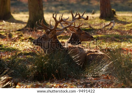 Two red deers with big antlers