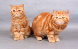 Two red exotic shorthair kittens