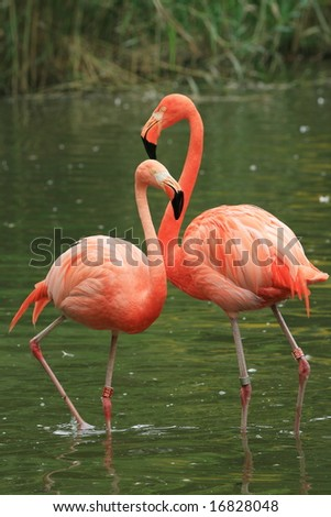 Two red flamingos in the water