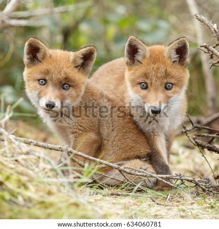 Two red fox cubs posing next to each other  #634060781