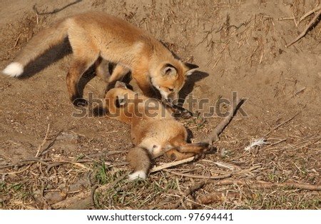 Two Red Fox pups playing outside their den
