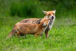 Two red fox touching with nose on meadow in summer