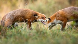 Two red fox, vulpes vulpes, fighting on green field in autumn nature. Angry mammal hissing on meadow in fall. Wild orange animal against another one on pasture.