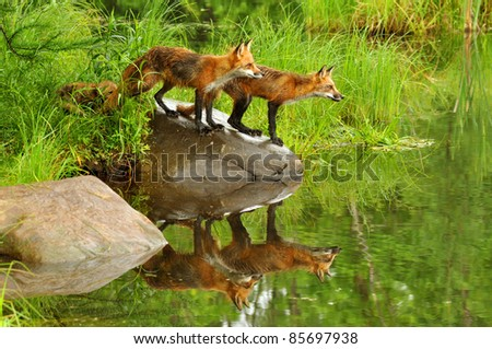 Two red foxes seen in water reflections (captive)