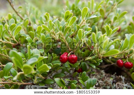 Two red fruits of the bearberry shrub (Arctostaphylos uva-ursi). Close-up of an amazing uva-ursishrub with berries growing in a natural habitat.  Foto stock ©