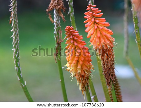 two red hot poker flowers