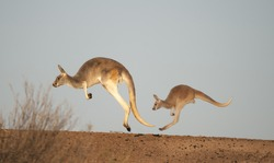 Two red kangaroos in the desert of outback Australia