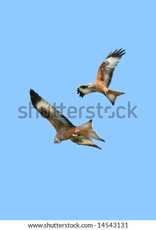 Two red kite eagles flying together on a blue sky day. - stock photo