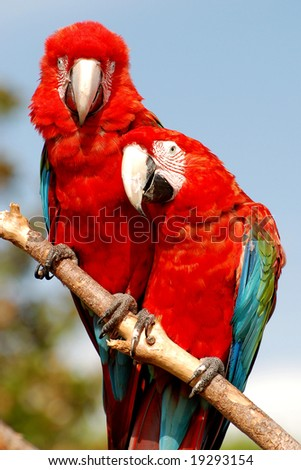 Two red macaw parrots on one branch