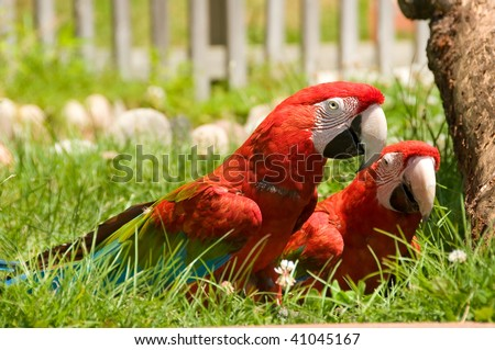Two red macaw parrots playing in a grass