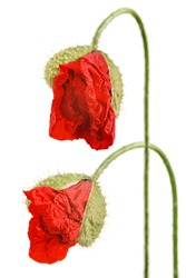 Two red poppy flower buds isolated on white background.