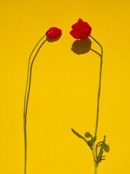 Two red poppy flowers on yellow background. Red flower bud. Minimal floral concept. Layout, template or greeting card design, copy space for text. Clear line minimalism