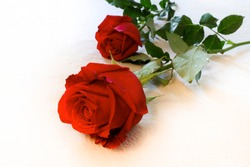 Two red roses on a white fabric
